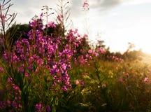 Ιτιά-χορτάρι Στοκ εικόνα με δικαίωμα ελεύθερης χρήσης