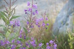 Ιτιά-χορτάρι Fireweed Rosebay (angustifolium Chamerion) Στοκ φωτογραφία με δικαίωμα ελεύθερης χρήσης