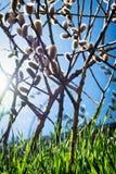 Ιτιά catkins Στοκ φωτογραφία με δικαίωμα ελεύθερης χρήσης