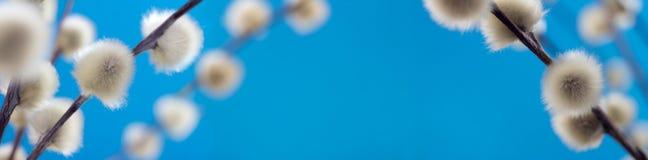 Ιτιά catkins Στοκ εικόνες με δικαίωμα ελεύθερης χρήσης