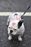 ιωβηλαίο σκυλιών διαμαντιών Στοκ Εικόνες