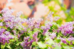 Ιώδες άνθος με το bokeh πέρα από το υπόβαθρο ουρανού Υπαίθριο υπόβαθρο φύσης με τον ιώδες ανθίζοντας κήπο ή το πάρκο, έμβλημα Στοκ Φωτογραφίες