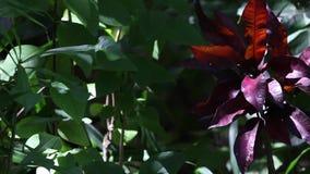 Ιώδες εξωτικό λουλούδι με τα πράσινα φύλλα σε έναν κήπο απόθεμα βίντεο