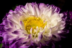 Ιώδες και κίτρινο λουλούδι στοκ φωτογραφίες