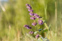 Ιώδες λογικό verticillata Salvia στις ηλιόλουστες χλοώδεις στέπες Στοκ Εικόνες