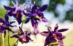 ιώδες λουλουδιών άνθος φωτός του ήλιου κήπων aquilegia υπαίθριο Στοκ Φωτογραφίες