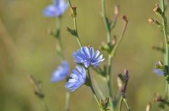 Ιώδες λουλούδι - ένα ουδέτερο υπόβαθρο E Θολωμένη άκρη στοκ εικόνα με δικαίωμα ελεύθερης χρήσης