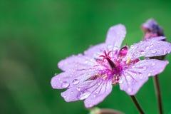 Ιώδες λουλούδι βουνών στοκ φωτογραφία με δικαίωμα ελεύθερης χρήσης