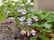 Ιώδες λουλούδι βράχου ναυπηγείων στοκ εικόνα με δικαίωμα ελεύθερης χρήσης