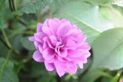 Ιώδες λουλούδι εγκαταστάσεων Στοκ Εικόνα