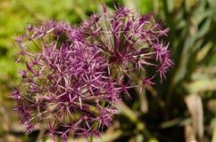 Ιώδες λουλούδι στη χλόη στοκ φωτογραφία με δικαίωμα ελεύθερης χρήσης