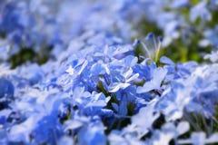 Ιώδες λουλούδι χρώματος auriculata Plumbago Στοκ εικόνες με δικαίωμα ελεύθερης χρήσης