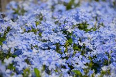 Ιώδες λουλούδι χρώματος auriculata Plumbago Στοκ Φωτογραφία