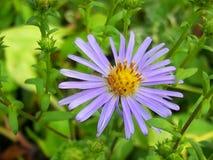 Ιώδες λουλούδι στοκ φωτογραφία