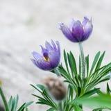 Ιώδες λουλούδι anemone Στοκ φωτογραφία με δικαίωμα ελεύθερης χρήσης