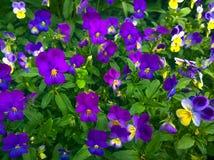 Ιώδες τρι-χρώμα Pansies λουλουδιών Στοκ Εικόνες