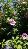 Ιώδες Hibiscus ηλιόλουστο afternnoon στοκ φωτογραφίες
