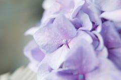Ιώδες hortensia λουλουδιών Στοκ Φωτογραφίες