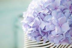 Ιώδες hortensia λουλουδιών Στοκ Εικόνες