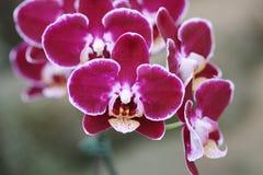 Ιώδες Orchid ανθίζει την κινηματογράφηση σε πρώτο πλάνο Στοκ Εικόνες