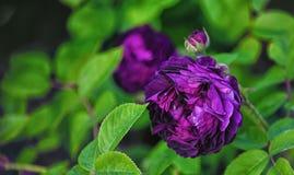 Ιώδης αυξήθηκε λουλούδι σε ένα πράσινο υπόβαθρο Στοκ Εικόνα