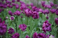 Ιώδης τομέας των τουλιπών όμορφα λουλούδια είναι πολλά πράσινα στοκ φωτογραφία
