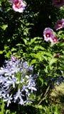 Ιώδης Hibiscus θερινός κήπος στοκ φωτογραφίες