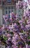 Ιώδη δέντρα Λήφθείτε στον ιώδη κήπο στη Μόσχα Στοκ Εικόνα