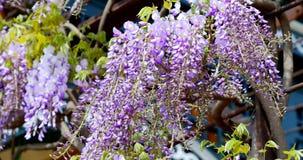 Ιώδη λουλούδια κινηματογραφήσεων σε πρώτο πλάνο που κυματίζουν στον αέρα απόθεμα βίντεο