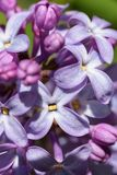 Ιώδη λουλούδια, μακρο πυροβολισμός αφηρημένο λουλούδι ανασκόπησης Στοκ εικόνα με δικαίωμα ελεύθερης χρήσης