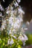 Ιώδη λουλούδια μετά από τη βροχή Στοκ Φωτογραφία