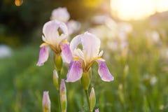 Ιώδη λουλούδια σε ένα πράσινο λιβάδι στοκ φωτογραφία με δικαίωμα ελεύθερης χρήσης