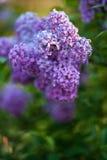Ιώδη λουλούδια στην άνθιση Στοκ Εικόνες