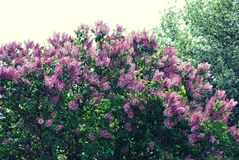Ιώδη λουλούδια στο θερινό χρόνο στοκ φωτογραφία με δικαίωμα ελεύθερης χρήσης