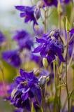 Ιώδη λουλούδια aquilegia στοκ φωτογραφίες με δικαίωμα ελεύθερης χρήσης