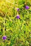 Ιώδη λουλούδια rotundifolia Campanula harebell που αυξάνονται στο πράσινο ρομαντικό ηλιόλουστο λιβάδι Wildflowers στο άνθος στο θ στοκ φωτογραφία με δικαίωμα ελεύθερης χρήσης