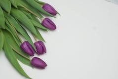 Ιώδη φρέσκα λουλούδια τουλιπών στο ουδέτερο ελαφρύ υπόβαθρο Υπόβαθρο χαιρετισμού άνοιξη με το διάστημα αντιγράφων Στοκ εικόνα με δικαίωμα ελεύθερης χρήσης