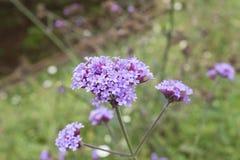 Ιώδη verbena λουλούδια Στοκ Εικόνες