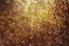 Ιώδεις κλάδοι με τη νέα ηλιοφάνεια φύλλων την άνοιξη Στοκ Φωτογραφίες