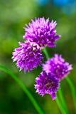 ιώδες καλοκαίρι λουλουδιών Στοκ εικόνα με δικαίωμα ελεύθερης χρήσης