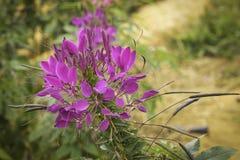 Ιώδες λουλούδι αραχνών - hassleriana Cleome στον κήπο Στοκ Εικόνα