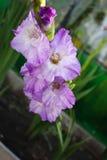 Ιώδες λουλούδι ενός gladiolus Στοκ εικόνες με δικαίωμα ελεύθερης χρήσης