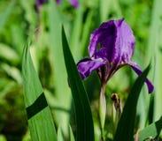 Ιώδες λουλούδι καθολικός Ιστός προτύπων σελίδων ίριδων χαιρετισμού λουλουδιών καρτών ανασκόπησης βιολέτα ήλιων ίριδων κήπων λουλο Στοκ φωτογραφία με δικαίωμα ελεύθερης χρήσης