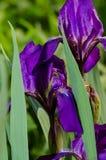 Ιώδες λουλούδι καθολικός Ιστός προτύπων σελίδων ίριδων χαιρετισμού λουλουδιών καρτών ανασκόπησης βιολέτα ήλιων ίριδων κήπων λουλο Στοκ Φωτογραφίες