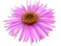 Ιώδες λουλούδι μαργαριτών που απομονώνεται στο άσπρο υπόβαθρο Στοκ Εικόνες