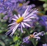Ιώδες λουλούδι μαργαριτών φθινοπώρου Στοκ εικόνα με δικαίωμα ελεύθερης χρήσης