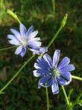 Ιώδες λουλούδι στον τομέα Στοκ Εικόνα