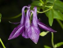 Ιώδες λουλούδι του ευρωπαϊκού ή κοινού columbine, Aquilegia vulgaris, κινηματογράφηση σε πρώτο πλάνο, εκλεκτική εστίαση, ρηχό DOF Στοκ φωτογραφία με δικαίωμα ελεύθερης χρήσης