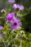 Ιώδες λουλούδι του rduus cà ¡ Στοκ Εικόνα