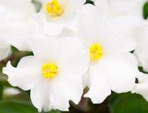Ιώδες λουλούδι Στοκ εικόνα με δικαίωμα ελεύθερης χρήσης